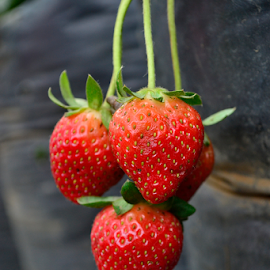 Strawberries3 by Richard Idea - Nature Up Close Gardens & Produce (  )