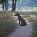 Dhole (Indian wild dog)