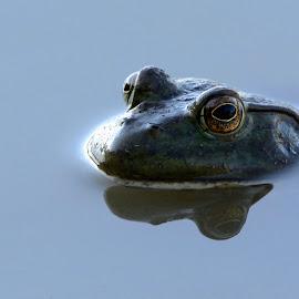 Frog by Roberto Gandolfi - Animals Amphibians ( lago, rana catesbeiana, frog, anfibio, nikon d7100, lake, verde, rana, amphibians )