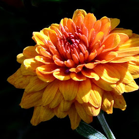 by William Lallemand - Flowers Single Flower ( bloom flower orange )
