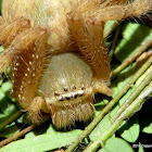 Shield Huntsman Spider