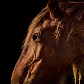 Enduring Spirit by Kim Wilhite - Animals Horses ( stallion, wild horse, outer banks, fine art, #pixoto )