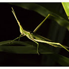 Common Stick Grasshopper
