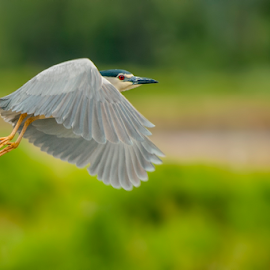 night heron on fly by Riccardo Trevisani - Animals Birds ( riccardo trevisani, wildlife, italy, night heron )
