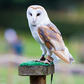 Barn Owl by Petrus Odendaal - Animals Birds