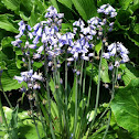 Spanish bluebell or Wood Hyacinth