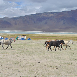Wild horses by the Himalayan lake by Heena Shah - Animals Horses ( clouds, water, tso kar, vehicle, lake, travel, ladakh, gray, himalayas, jnk, mountains, tso, blue, campsite, high altitude, india )