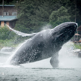 humpback whale by Horizon Photo - Animals Sea Creatures ( humpback whale, alaska )