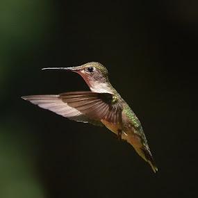 Ruby-throated Hummingbird by Liz Crono - Animals Birds ( flight, animals, female, hummingbird, birds )