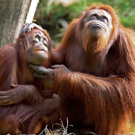 Orang Utans by Edwin Butter - Animals Other Mammals ( looking, orange, orang, apes, primates, up, utan,  )