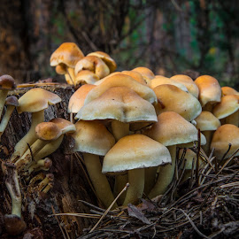 Mushrooms in Polish forests by Marcin Frąckiewicz - Nature Up Close Mushrooms & Fungi ( fungus, mushrooms )