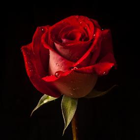 Red Rose in 2 tones by Cristobal Garciaferro Rubio - Flowers Single Flower