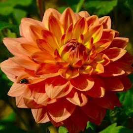 Dahlia by Darren Peckham - Novices Only Flowers & Plants