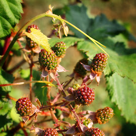 Blackberries by Kimmarie Martinez - Nature Up Close Gardens & Produce ( fruit, plants, blackberries, natural, garden, berries )
