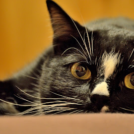 Schwarzie by Ioana Draghiciu - Animals - Cats Portraits ( black and white cat, cat face, cat, cat eyes )