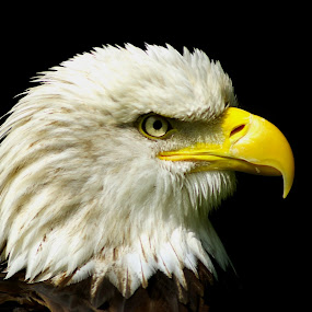 Bald Eagle  by Ian Flear - Animals Birds