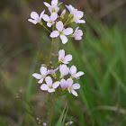 Cuckoo Flower, Wiesen-Schaumkraut