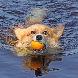 On a mission by Mia Ikonen - Animals - Dogs Playing ( retrieving, pembroke welsh corgi, finland, fun, swimming,  )