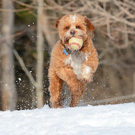 Fetch by Steven Liffmann - Animals - Dogs Playing ( ball, jumping, snow, puppy, cavapoo, cute, dog, running )