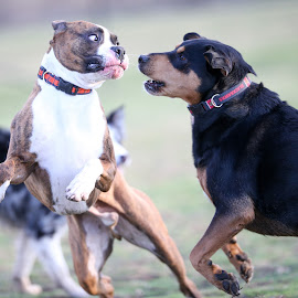 I Dare You by Peter Marzano - Animals - Dogs Playing