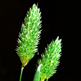 Weed grass inflorescence by Asif Bora - Nature Up Close Leaves & Grasses