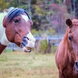 Girls will be Girls by Sue Delia - Animals Horses ( mares, chestnut, horse, pinto,  )