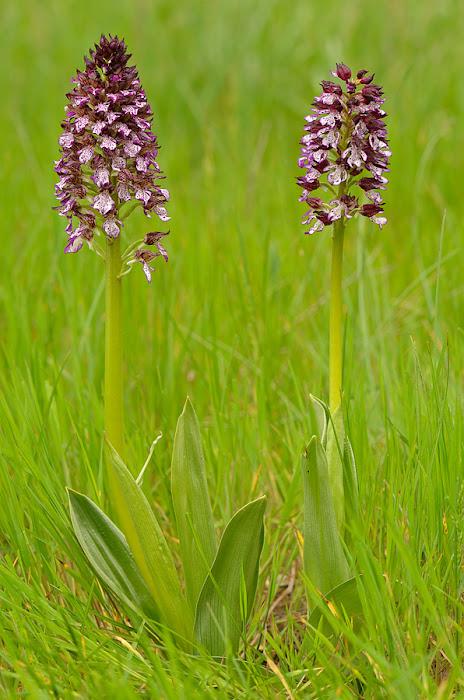 Orchis purpurea, una orquídea ibérica terrestre