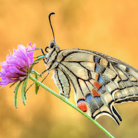 Papilio Machaon by Sono Nikonista - Animals Insects & Spiders ( butterfly, papilio machaon, d700, sigma 150os,  )