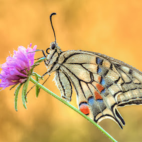 Papilio Machaon by Eric Niko - Animals Insects & Spiders ( butterfly, papilio machaon, d700, sigma 150os,  )