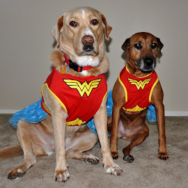 Wonder Dogs by Dawn Hoehn Hagler - Animals - Dogs Portraits ( halloween costume, pet, wonder woman, dog, halloween,  )