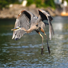 Hang-Gliding Heron by Skye Ryan-Evans - Animals Birds ( bird, great blue heron, wading bird, animal-lovers, ontario river, blue heron, bobcaygeon, wildlife, birdlovers, heron, flying heron )