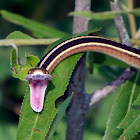 Common Ribbonsnake
