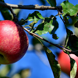Autumn by Iulia Breuer - Nature Up Close Gardens & Produce ( apples )