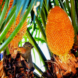 Squirrel hunts for a palm fruit by Aditya Kristianto - Animals Other Mammals