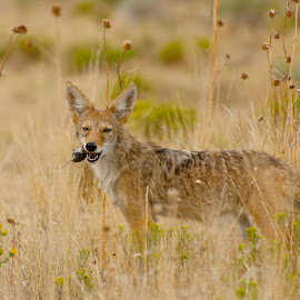 Coyote Hunting by Jolie Gordon - Animals Other Mammals ( coyote )