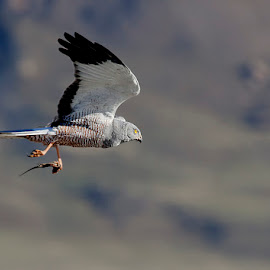 carrying a lizard by Edith Polverini - Animals Birds ( bird, flying, lizard, cinereus harrier, food, harrier )
