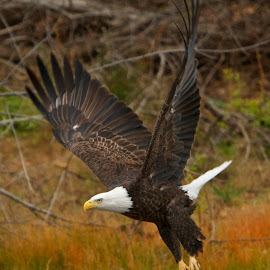 Mississippi Eagle by Doug Doner - Animals Birds