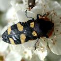 Jewel Beetle - 3