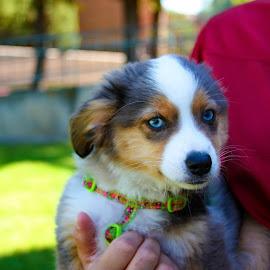 Blue by Micaela Lafferty - Animals - Dogs Puppies ( pet, puppy, australian shepherd, cute, dog, animal )