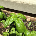 Herb Sweet Basil