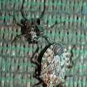 Bark Stink Bug Molt