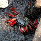 Mangrove Root Crab