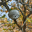 Bald-faced Hornet (nest)