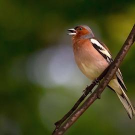Fringilla coelebs by Miroslav Socha - Animals Birds