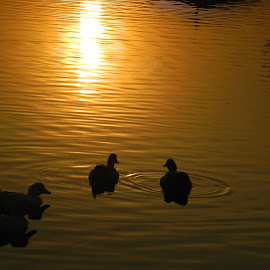 sunset by Alan Oommen Jose - Nature Up Close Water ( sunset, beautiful, duck, yellow, sun, golden )