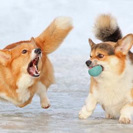 Protecting the ball by Mia Ikonen - Animals - Dogs Playing ( playful, pembroke welsh corgi, finland, buddies, fun,  )