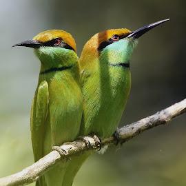 Green - bee-eaters by Sankaran Balaji - Animals Birds ( 2some, animals, nature, green bee-eaters, birds, closeup )