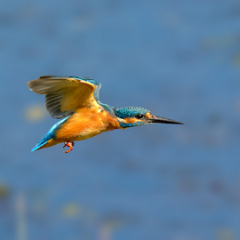 The flight of the kingfisher by Roberto Melotti - Animals Birds ( river kingfisher, roberto melotti, nikon d7100, eurasian kingfisher, martin pescatore, common kingfisher, martin pescatore europeo, bird, flying, flight, martin pescatore comune, alcedo atthis, kingfisher, italy, swamp )