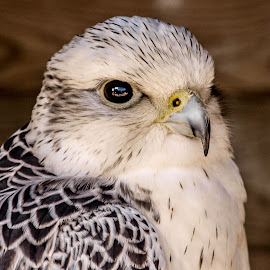 Wilstead 4 by Garry Chisholm - Animals Birds ( bird, garry chisholm, nature, wildlife, falcon, prey, raptor, hawk )
