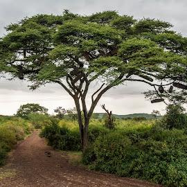 acacia by Antonio Rizza - Nature Up Close Trees & Bushes